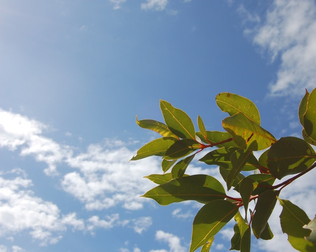 Photo Eucalyptus HoCaPa