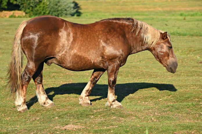 Gros cheval HoCaPa, fourbure