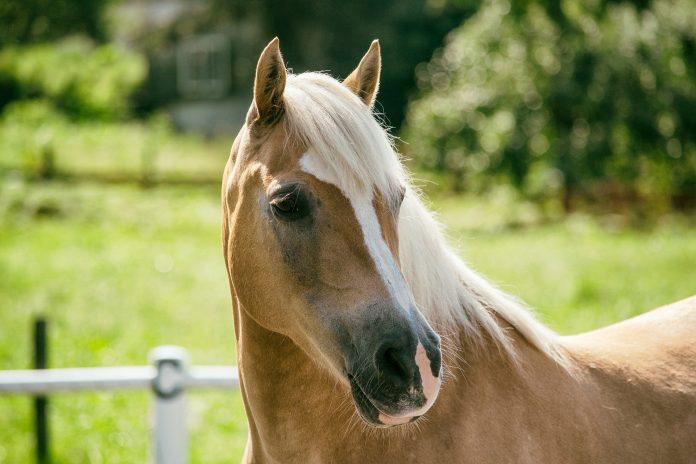 acheter un poney-HoCaPa