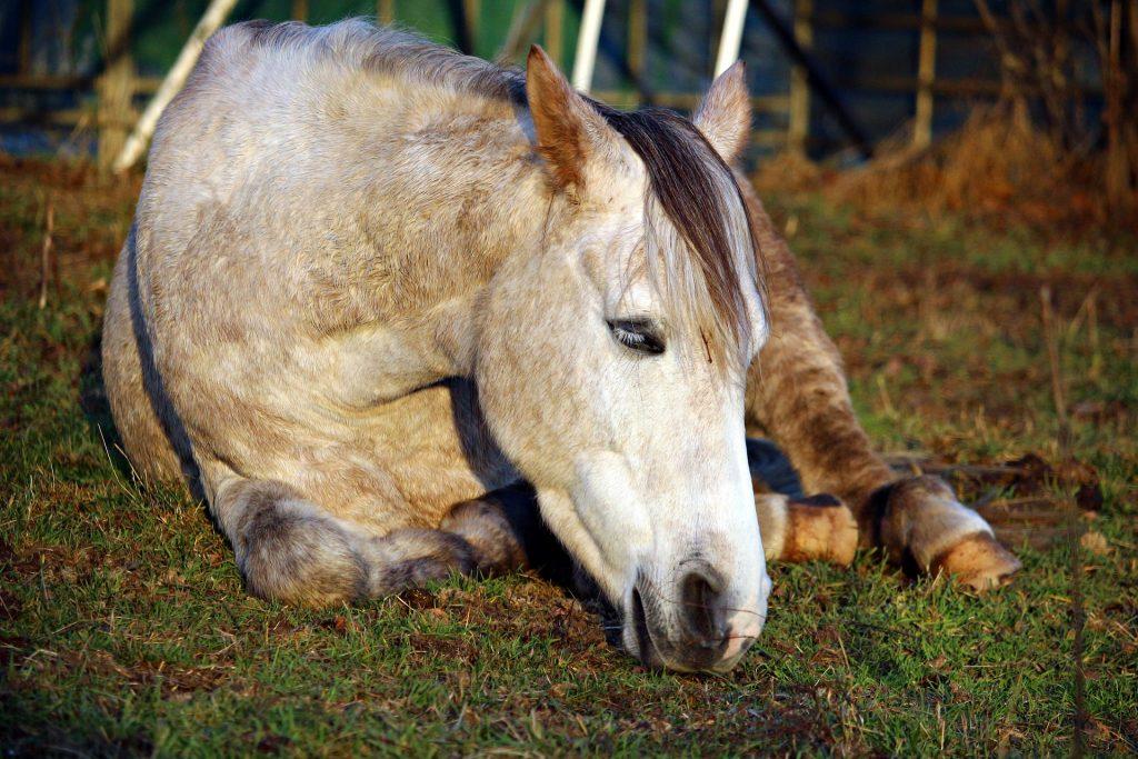 cheval fatigué, couché, HoCaPa