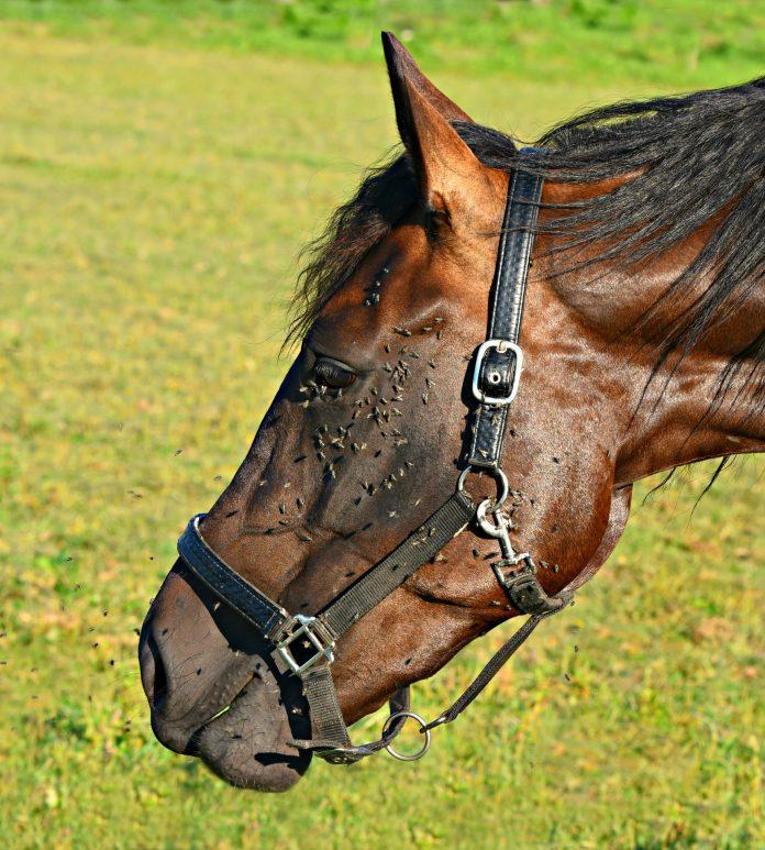 cheval avec mouches - HoCaPa