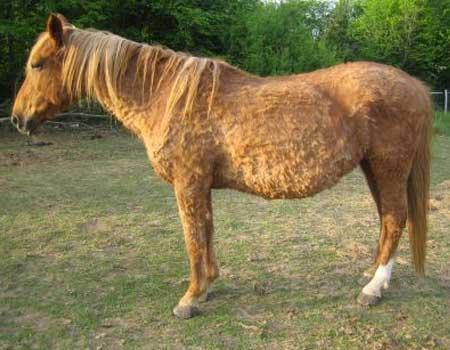 syndrome de cushing - hocapa