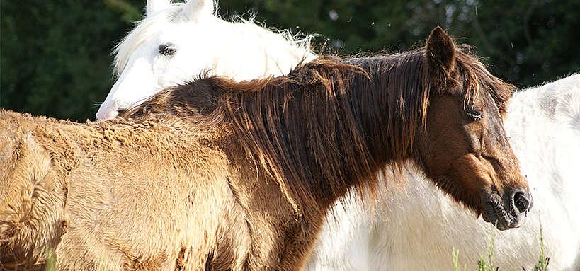 syndrome de cushing chevaux - hocapa
